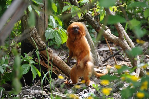 Golden Lion Tamarin 1