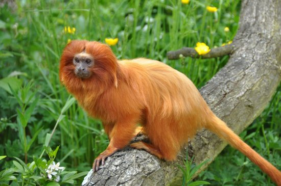 Golden Lion Tamarin 2