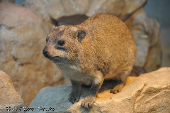 Hyrax or Rock Rabbit