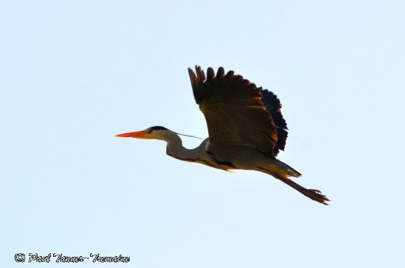 Grey Heron overflying our yard